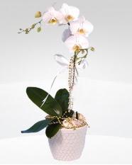 1 dallı orkide saksı çiçeği  Muğla internetten çiçek satışı