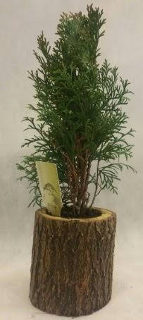 SINIRLI STOK Selvi Bonsai Doğal kütükte  Muğla internetten çiçek siparişi