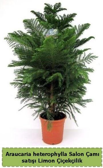 Salon Çamı Satışı Araucaria heterophylla  Muğla uluslararası çiçek gönderme