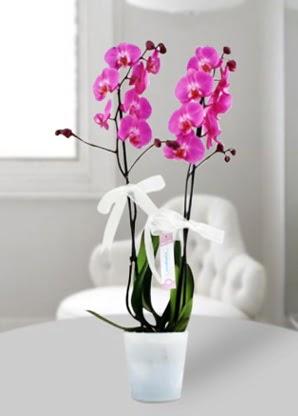 Çift dallı mor orkide  Muğla kaliteli taze ve ucuz çiçekler
