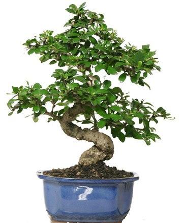 21 ile 25 cm arası özel S bonsai japon ağacı  Muğla cicekciler , cicek siparisi