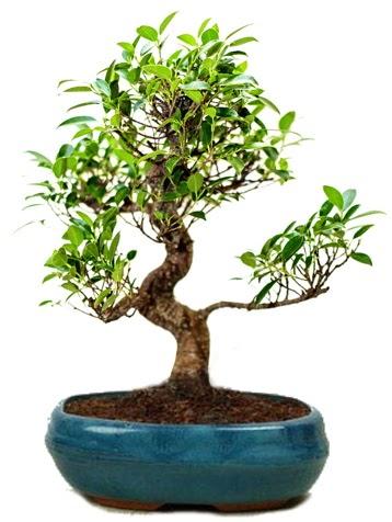 25 cm ile 30 cm aralığında Ficus S bonsai  Muğla çiçek siparişi vermek