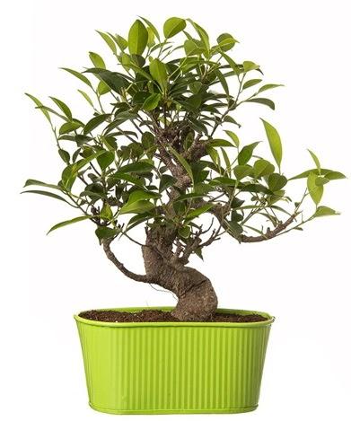 Ficus S gövdeli muhteşem bonsai  Muğla çiçek servisi , çiçekçi adresleri
