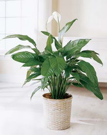 Muğla online çiçekçi , çiçek siparişi  spatilyum ithal büyük boy