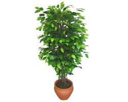Ficus Benjamin 1,50 cm   Muğla çiçek gönderme