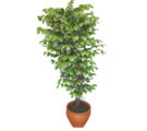 Ficus özel Starlight 1,75 cm   Muğla çiçek yolla , çiçek gönder , çiçekçi