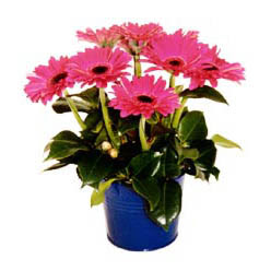vazo içerisinde gerbera çiçekleri   Muğla online çiçekçi , çiçek siparişi