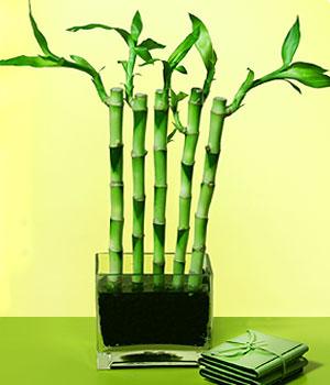 Muğla çiçek gönderme  Good Harmony Lucky Bamboo camda