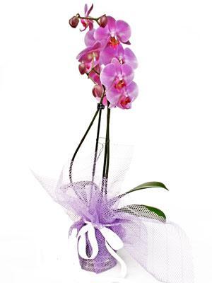 Muğla çiçek gönderme  Kaliteli ithal saksida orkide