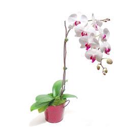 Muğla cicek , cicekci  Saksida orkide