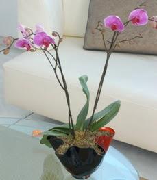 Muğla çiçek online çiçek siparişi  tek dal ikili orkide saksi çiçegi