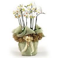 Muğla çiçek servisi , çiçekçi adresleri  3 dal orkide , saksi çiçegi , 3 kök orkide
