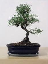 ithal bonsai saksi çiçegi  Muğla yurtiçi ve yurtdışı çiçek siparişi