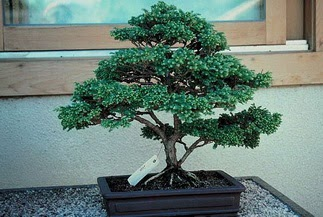 ithal bonsai saksi çiçegi  Muğla çiçek yolla