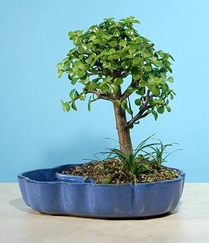 ithal bonsai saksi çiçegi  Muğla kaliteli taze ve ucuz çiçekler
