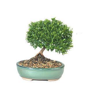 ithal bonsai saksi çiçegi  Muğla İnternetten çiçek siparişi