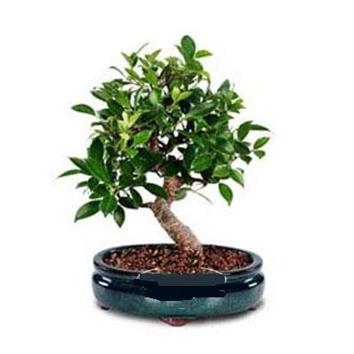 ithal bonsai saksi çiçegi  Muğla çiçek servisi , çiçekçi adresleri