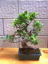 ithal bonsai saksi çiçegi  Muğla çiçekçi telefonları
