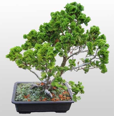 ithal bonsai saksi çiçegi  Muğla internetten çiçek siparişi