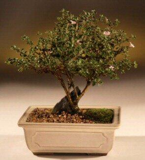 ithal bonsai saksi çiçegi  Muğla ucuz çiçek gönder