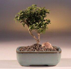 Muğla online çiçek gönderme sipariş  ithal bonsai saksi çiçegi  Muğla çiçek mağazası , çiçekçi adresleri