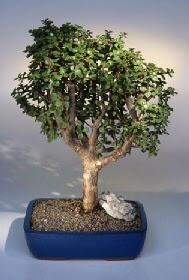 Muğla cicek , cicekci  ithal bonsai saksi çiçegi  Muğla kaliteli taze ve ucuz çiçekler