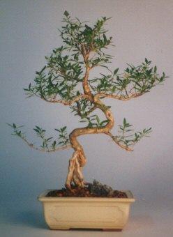 Muğla uluslararası çiçek gönderme  ithal bonsai saksi çiçegi  Muğla yurtiçi ve yurtdışı çiçek siparişi