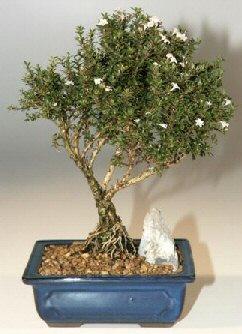 Muğla 14 şubat sevgililer günü çiçek  ithal bonsai saksi çiçegi  Muğla online çiçekçi , çiçek siparişi