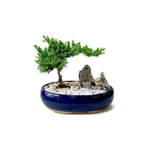 ithal bonsai saksi çiçegi  Muğla cicek , cicekci