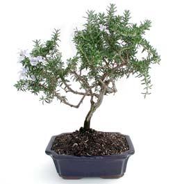 ithal bonsai saksi çiçegi  Muğla cicekciler , cicek siparisi