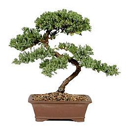 ithal bonsai saksi çiçegi  Muğla çiçek siparişi vermek
