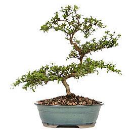 Muğla internetten çiçek siparişi  ithal bonsai saksi çiçegi  Muğla çiçek siparişi vermek