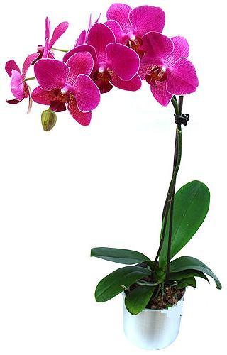 Muğla çiçek online çiçek siparişi  saksi orkide çiçegi