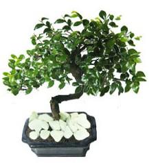 9 yasinda Bonsai agaci  Muğla çiçek siparişi sitesi