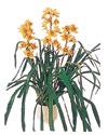 Muğla kaliteli taze ve ucuz çiçekler  Orchiede ithal büyük boy saksi