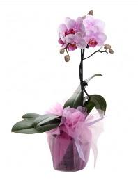 1 dal pembe orkide saksı çiçeği  Muğla hediye çiçek yolla