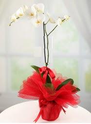 1 dal beyaz orkide saksı çiçeği  Muğla çiçek siparişi sitesi