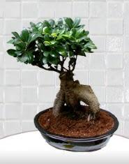 saksı çiçeği japon ağacı bonsai  Muğla hediye çiçek yolla