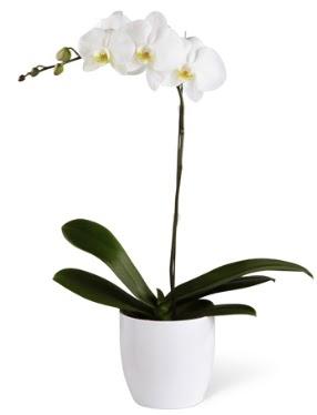 1 dallı beyaz orkide  Muğla çiçek yolla