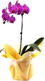 Muğla çiçek servisi , çiçekçi adresleri  Tek dal mor orkide saksı çiçeği