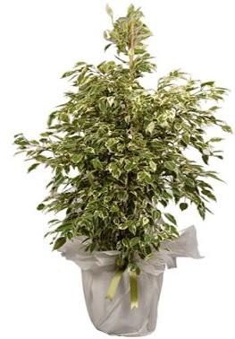 Orta boy alaca benjamin bitkisi  Muğla çiçek mağazası , çiçekçi adresleri