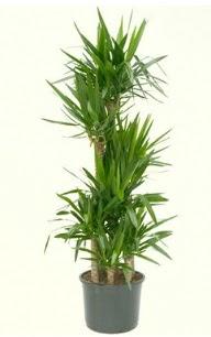 7 li yucca saksı bitkisi  Muğla çiçek , çiçekçi , çiçekçilik