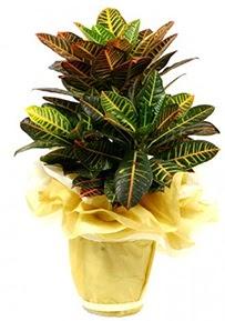Orta boy kraton saksı çiçeği  Muğla çiçek yolla