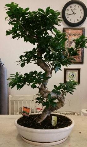 100 cm yüksekliğinde dev bonsai japon ağacı  Muğla internetten çiçek siparişi