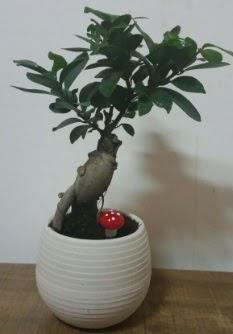 Bonsai japon ağacı saksı çiçeği  Muğla çiçek siparişi vermek