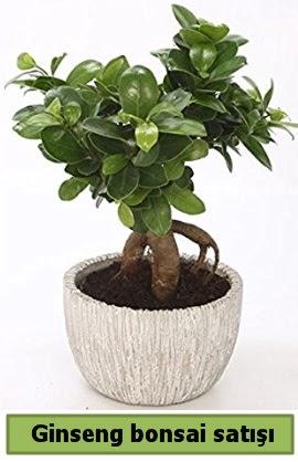 Ginseng bonsai japon ağacı satışı  Muğla cicekciler , cicek siparisi