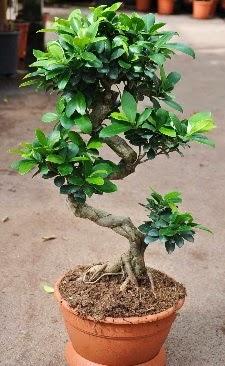 Orta boy bonsai saksı bitkisi  Muğla güvenli kaliteli hızlı çiçek