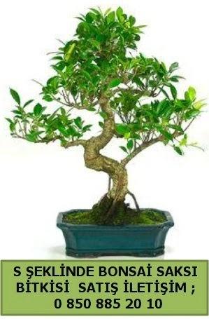 İthal S şeklinde dal eğriliği bonsai satışı  Muğla cicek , cicekci