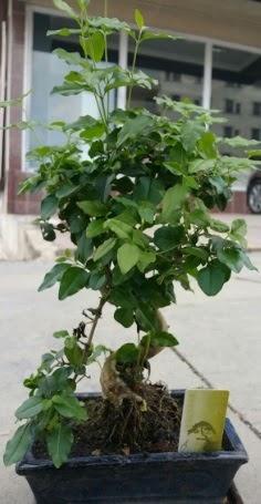 Bonsai japon ağacı saksı bitkisi  Muğla yurtiçi ve yurtdışı çiçek siparişi