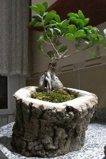 Ahşap kütük içerisinde ginseng bonsai  Muğla güvenli kaliteli hızlı çiçek